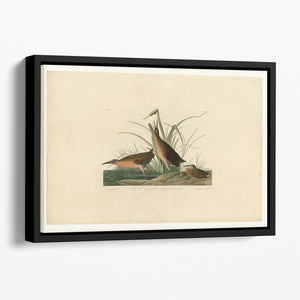 Virginia Rail by Audubon Floating Framed Canvas