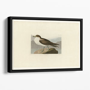 Wandering Shearwater by Audubon Floating Framed Canvas
