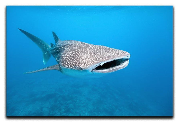 Whale shark Canvas Print or Poster
