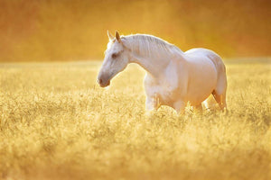 White Orlov trotter horse in rye Wall Mural Wallpaper - Canvas Art Rocks - 1