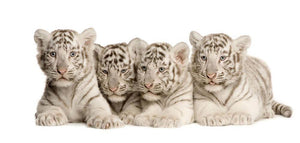 White Tiger cubs 2 months Wall Mural Wallpaper - Canvas Art Rocks - 1