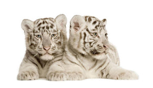 White Tiger cubs Wall Mural Wallpaper - Canvas Art Rocks - 1