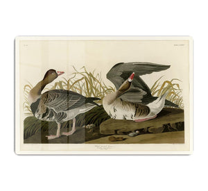 White fronted Goose by Audubon HD Metal Print - Canvas Art Rocks - 1