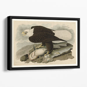 White headed Eagle by Audubon Floating Framed Canvas