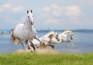 White horses running near water Wall Mural Wallpaper - Canvas Art Rocks - 1