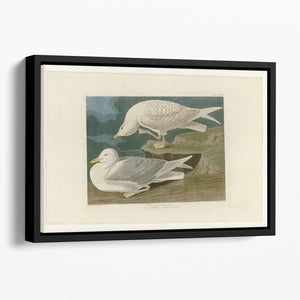 White winged silvery Gull by Audubon Floating Framed Canvas