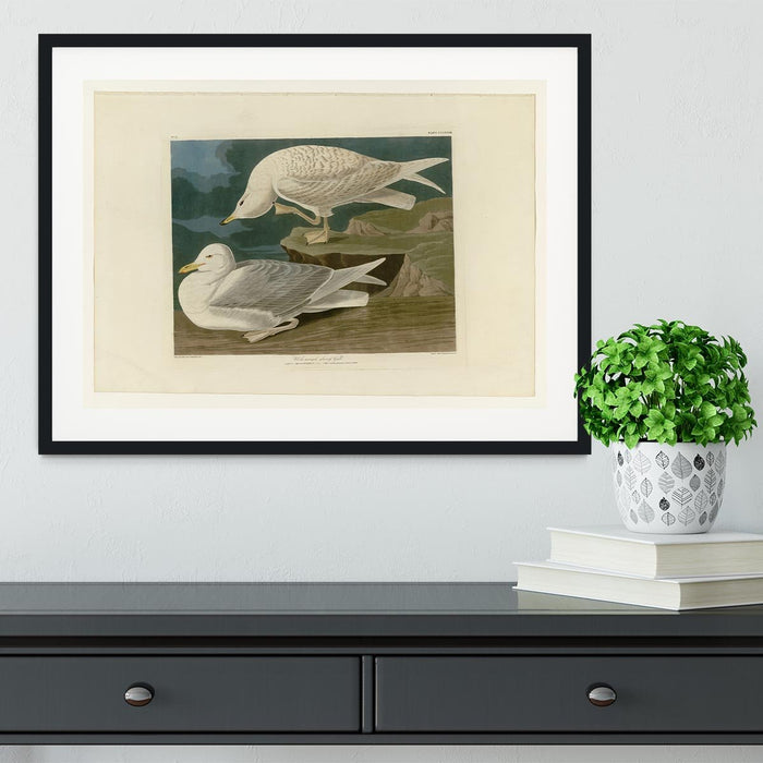 White winged silvery Gull by Audubon Framed Print