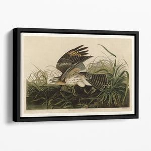 Winter Hawk by Audubon Floating Framed Canvas