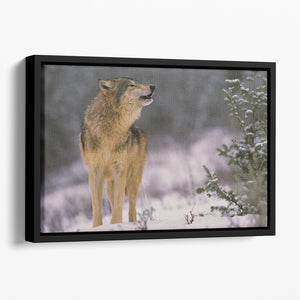 Wolf Howling in Snow Floating Framed Canvas - Canvas Art Rocks - 1