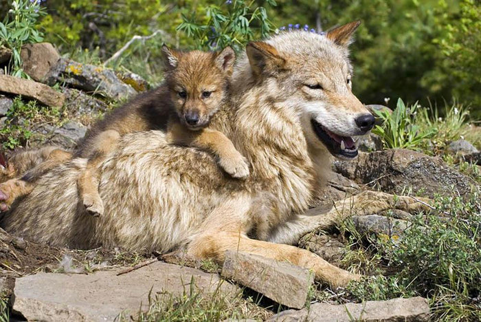 Wolf cubs and mother at den site Wall Mural Wallpaper