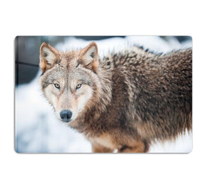 Wolf standing in the snow HD Metal Print - Canvas Art Rocks - 1