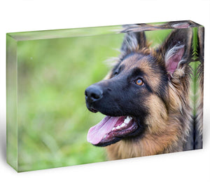 Young dog german shepherd on the grass in the park Acrylic Block - Canvas Art Rocks - 1