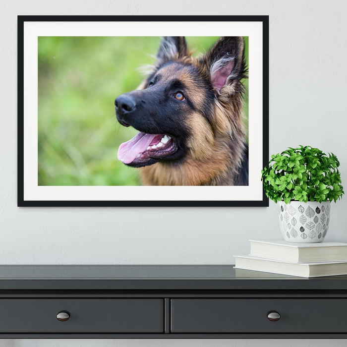Young dog german shepherd on the grass in the park Framed Print