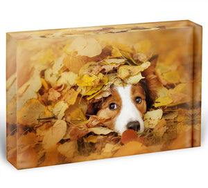 Young red border collie dog playing with leaves Acrylic Block - Canvas Art Rocks - 1