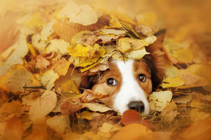 Young red border collie dog playing with leaves Wall Mural Wallpaper - Canvas Art Rocks - 1