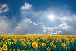 big sunflowers field and blue sky Wall Mural Wallpaper - Canvas Art Rocks - 1