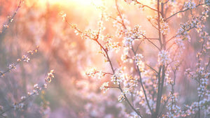 blooming tree and sun flare Wall Mural Wallpaper - Canvas Art Rocks - 1