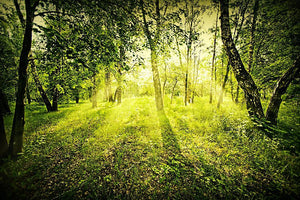 deep forest on summer morning Wall Mural Wallpaper - Canvas Art Rocks - 1