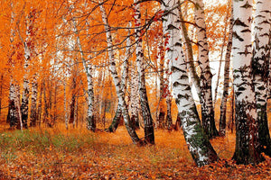 orange birch grove Wall Mural Wallpaper - Canvas Art Rocks - 1