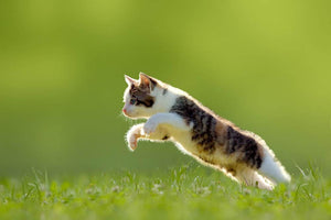 young cat jumps over a meadow in the backlit Wall Mural Wallpaper - Canvas Art Rocks - 1