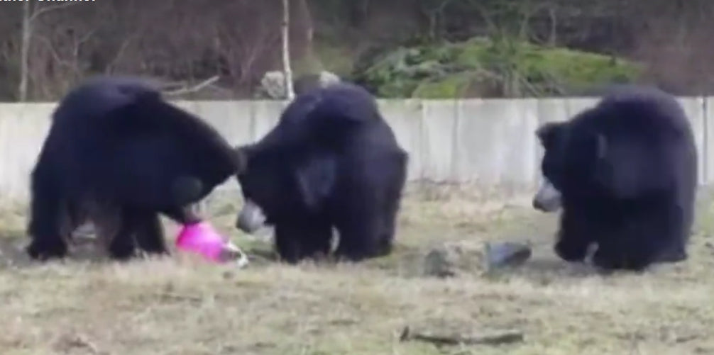 One picture frame from a video by the Weather Chanel of three bears playing with a pink balloon