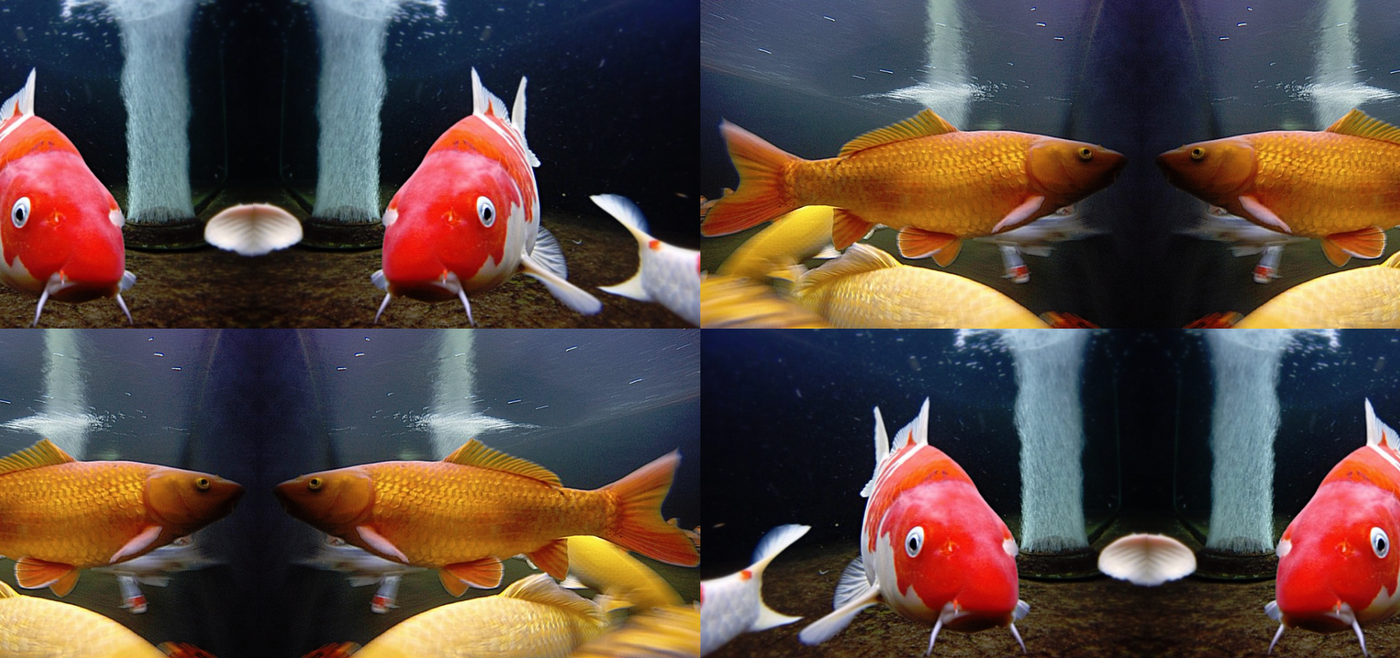 Koi Auction Now Live