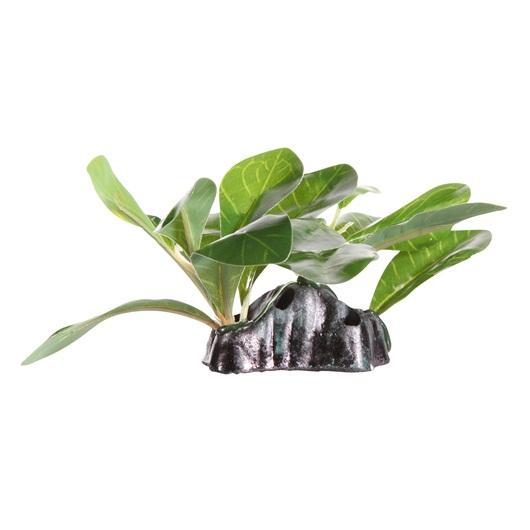 "Fluval Samolus Sword Plant 7cm (2.75"") with Base"