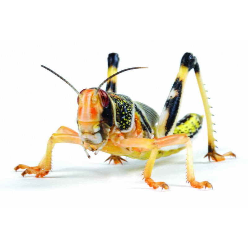 Locusts Large hopper (4th)