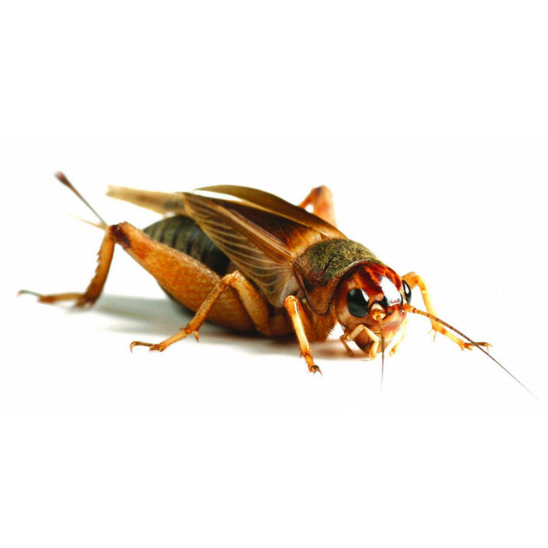 Silent Crickets Large 25-30mm-Live Food-Lincs Aquatics Ltd