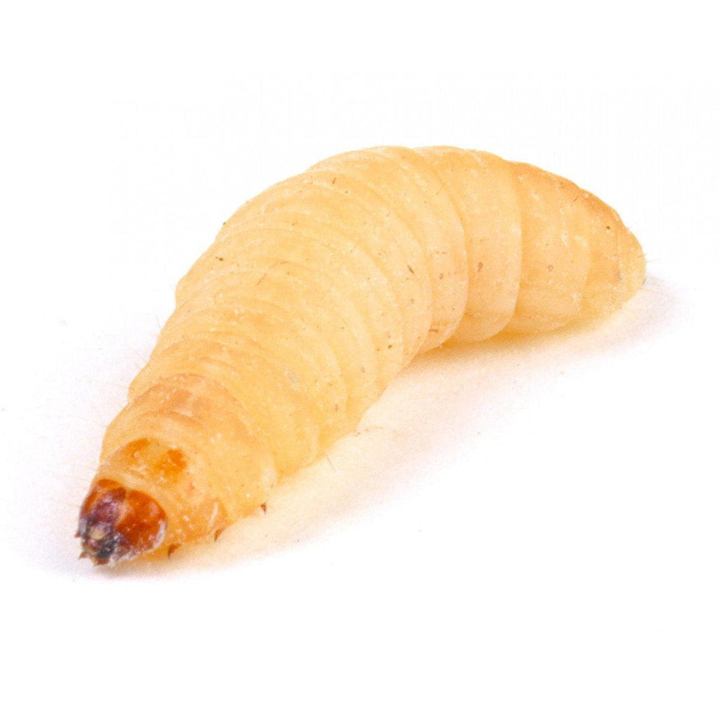 Waxmoth Larvae (Waxworms) 15-20mm-Live Food-Lincs Aquatics Ltd