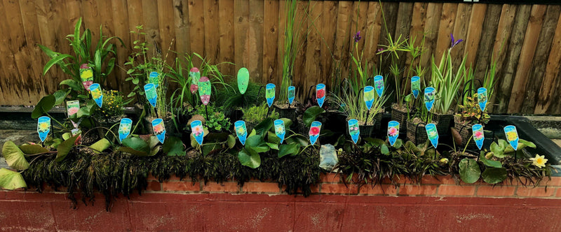 Pond plant selection for 30-35 yds/meters-Lincs Aquatics Ltd