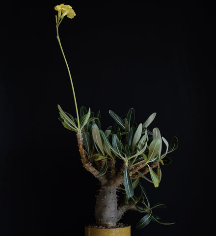 Pachypodium Rosulatum in bloom