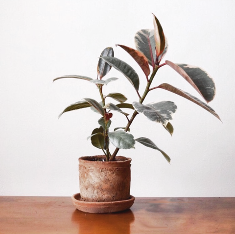 Variegated rubber tree plant (ficus elastica)