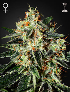 CHEESE (GREEN HOUSE SEEDS) FEMINIZADA a la venta en Panteón Grow Shop. Semillas Feminizadas de la marca Green House Seeds. Plantas de marihuana