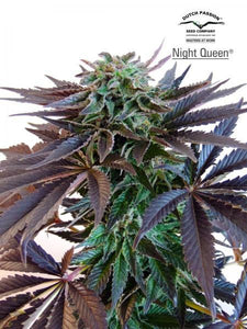 NIGHT QUEEN (DUTCH PASSION) FEMINIZADA a la venta en Panteón Grow Shop. Semillas Feminizadas de la marca Dutch Passion. Plantas de marihuana