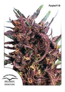PURPLE #1 (DUTCH PASSION) FEMINIZADA a la venta en Panteón Grow Shop. Semillas Feminizadas de la marca Dutch Passion. Plantas de marihuana