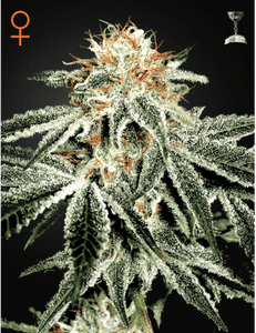 WHITE WIDOW (GREEN HOUSE SEEDS) FEMINIZADA a la venta en Panteón Grow Shop. Semillas Feminizadas de la marca Green House Seeds. Plantas de marihuana