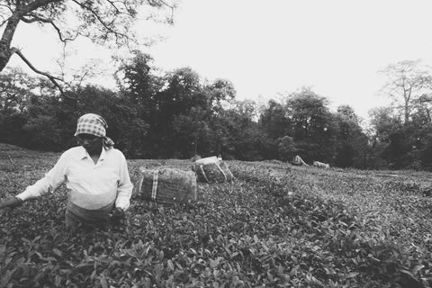 tea-picker-lady-india-farm-chai-walli