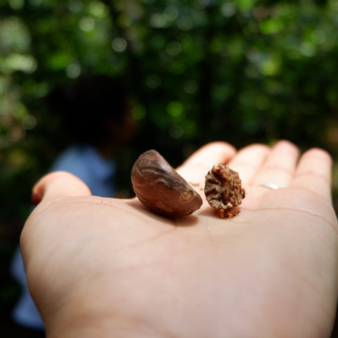 dried nutmeg seed and skin on hand