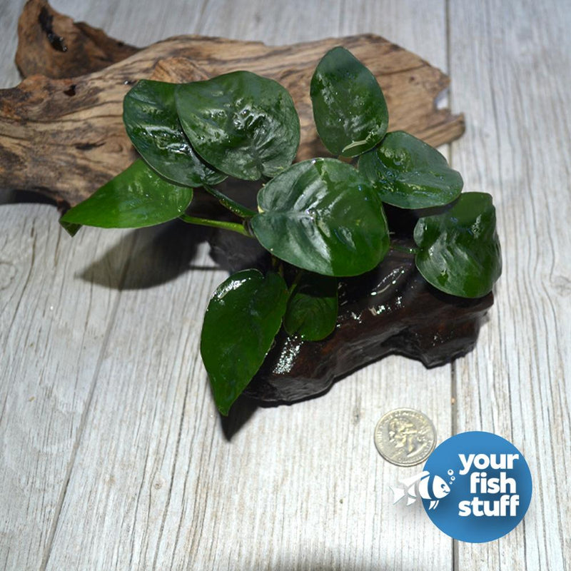 Anubias 'Butterfly'