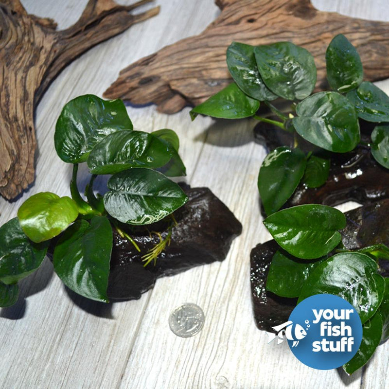 Anubias 'Butterfly' on Driftwood