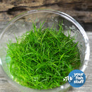 Dwarf Hairgrass Eleocharis parvulus mini Tissue Culture