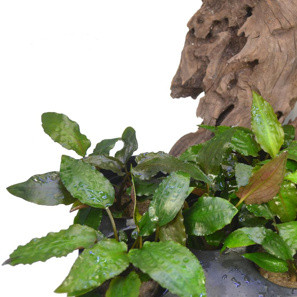 Cryptocoryne usteriana red