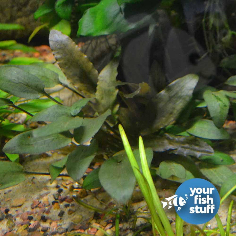 Cryptocoryne wendtii brown (indo)