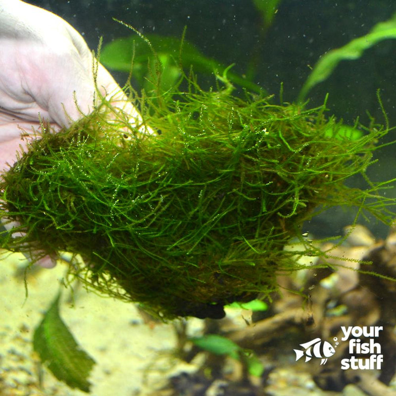 Java Moss on Driftwood