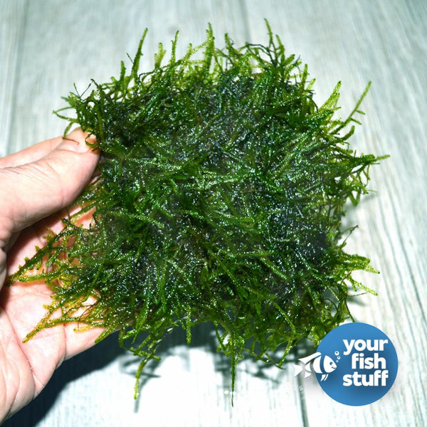 Java Moss on Mat