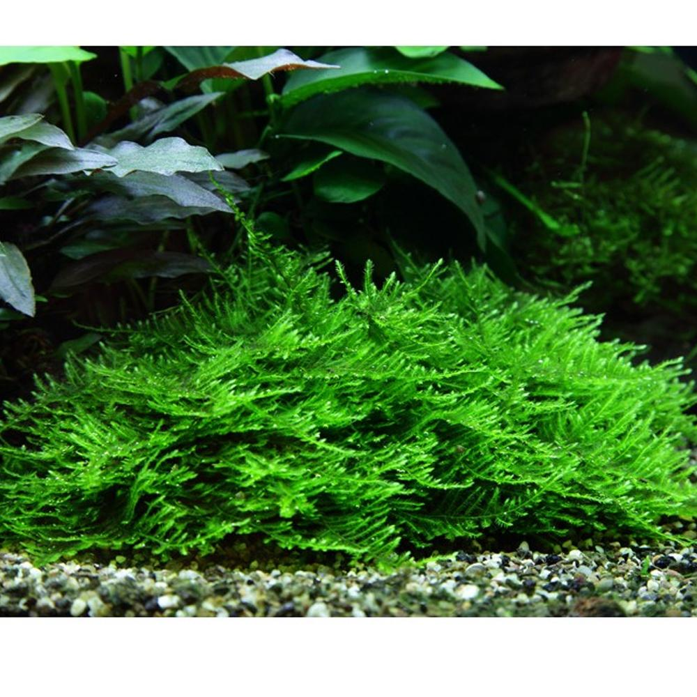 Spiky Moss Taxphyllum sp. 'Spiky' Tissue Culture
