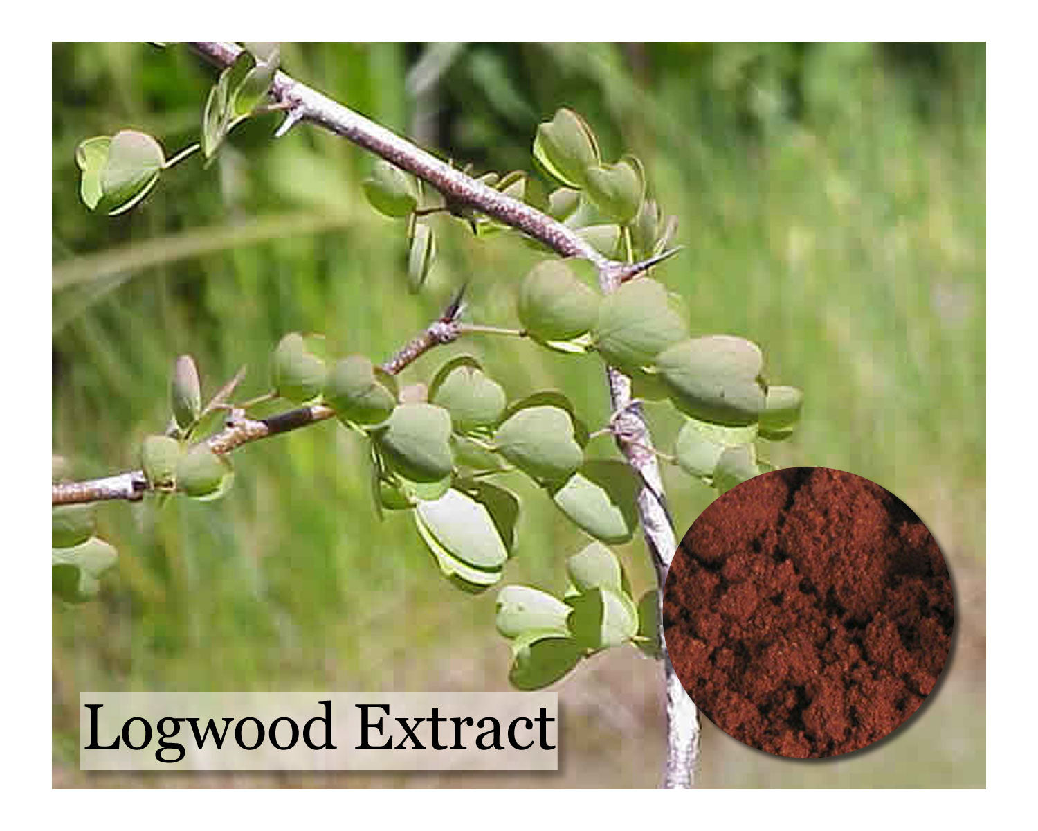 Logwood Purple Extract 1oz