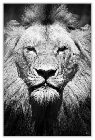 "African Lion Big Face Art Print 23"" x 15"" BW11"