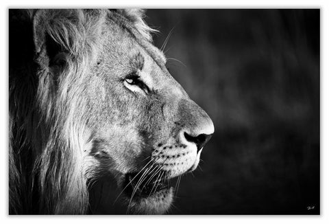"African Lion Side Art Print 23"" x 15"" BW24"